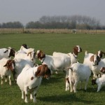 How Goat's Milk Can Improve Your Health