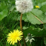 Lose Weight with Dandelion Tea
